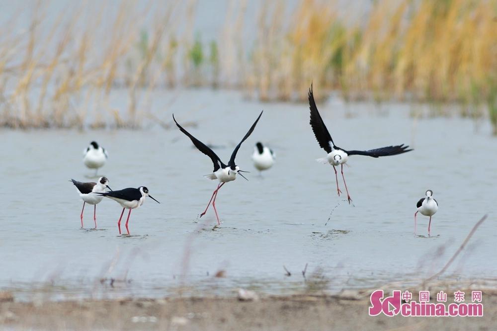 <br/>  4月26日,这是栖息在青岛市城阳区白沙河入海口湿地的黑翅长脚鹬。<br/>