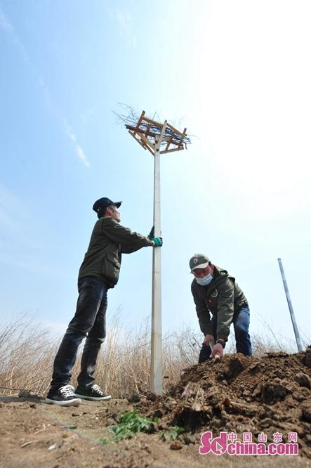 <br/>  4月26日,青岛市城阳区动植物保护协会的志愿者在湿地生态岛上为鹭类水鸟搭建招引鸟巢。<br/>