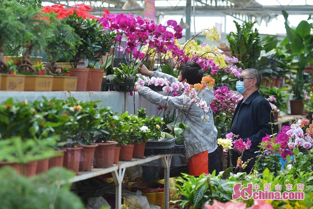 山東省青島市崂山区における枯桃花卉取引センターで、市民が胡蝶蘭を選んでいる。<br/>
