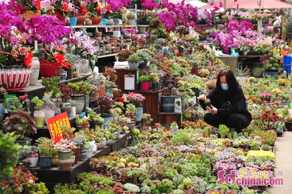 山東省青島市崂山区における枯桃花卉取引センターで、市民が多肉植物を選んでいる。<br/>