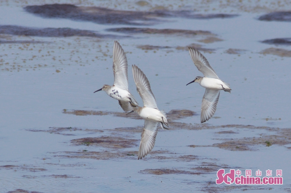 <br/>  4月1日,这是在青岛市胶州湾国家级海洋公园城阳段巡游觅食的黑腹滨鹬。