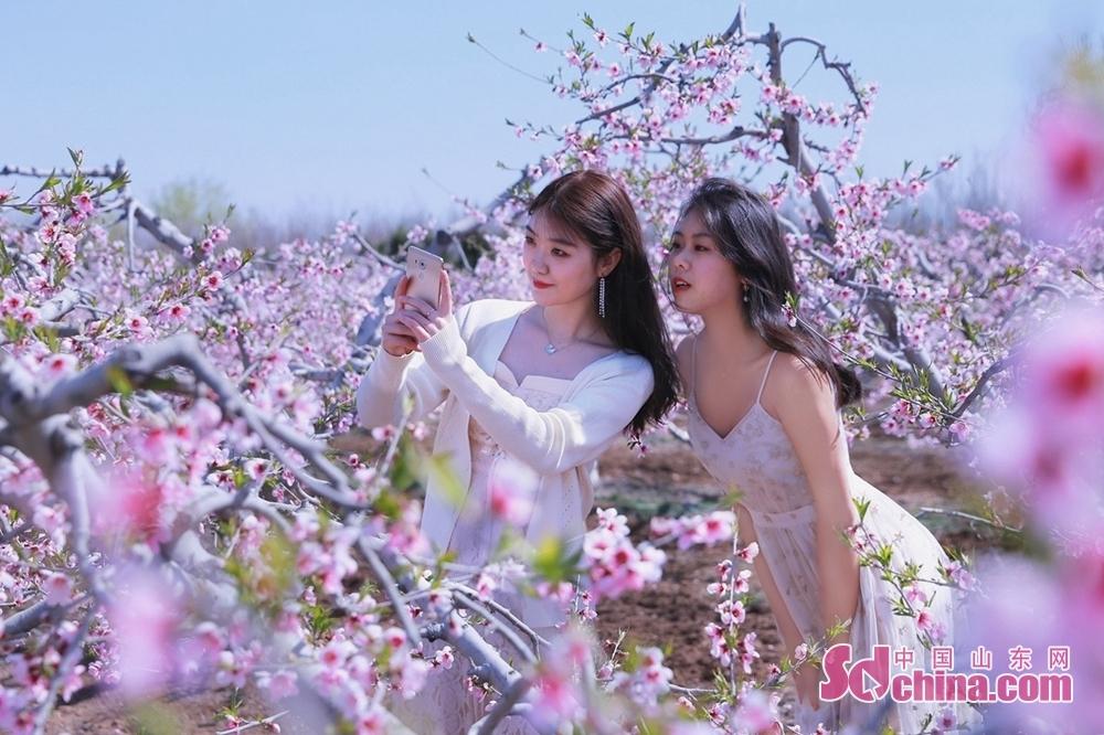 <br/>  万亩桃花含笑绽放,人面桃花相映红。<br/>