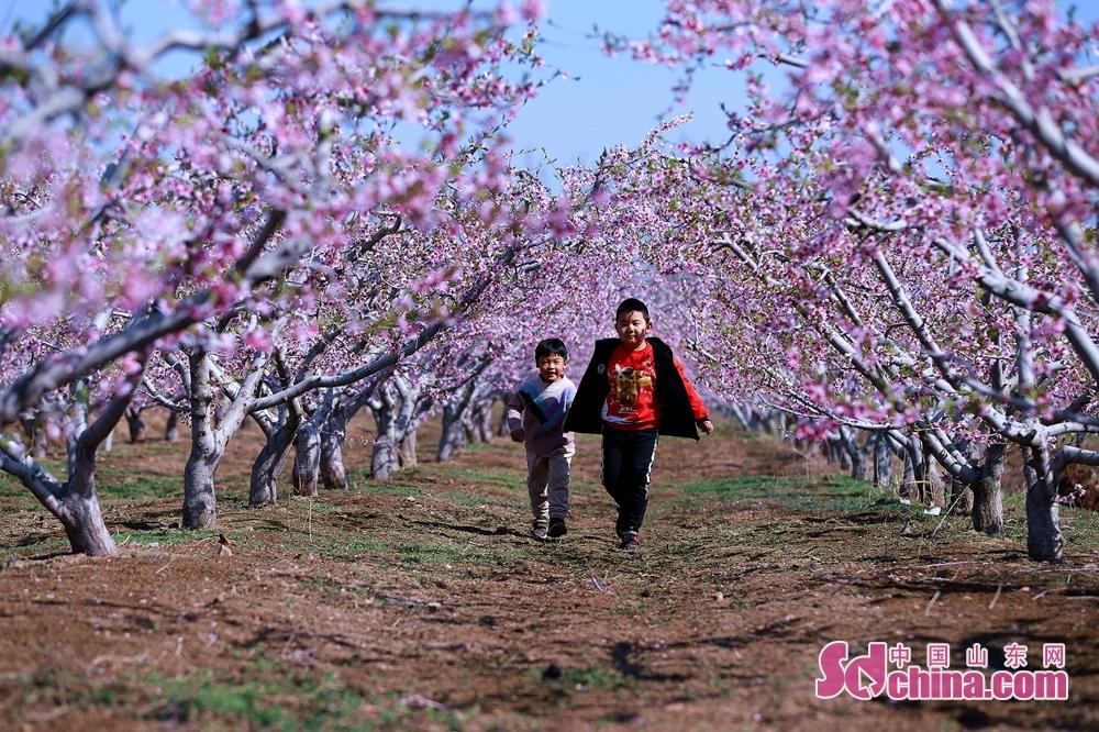 <br/>  近日,青岛市即墨区龙泉街道,万亩桃花含笑绽放。<br/>