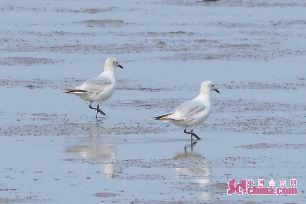 <br/>  4月1日,两只遗鸥亚成鸟在青岛市胶州湾国家级海洋公园城阳段结伴觅食。<br/>