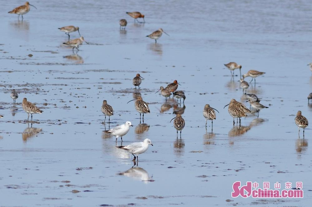 <br/>  4月1日,在青岛市胶州湾国家级海洋公园城阳段,两只遗鸥亚成鸟在鸟群当中巡游觅食。<br/>