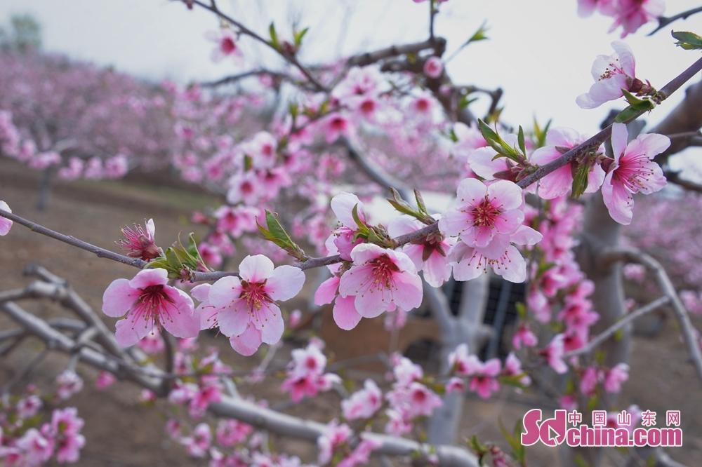 <br/>  万亩桃花含笑绽放。