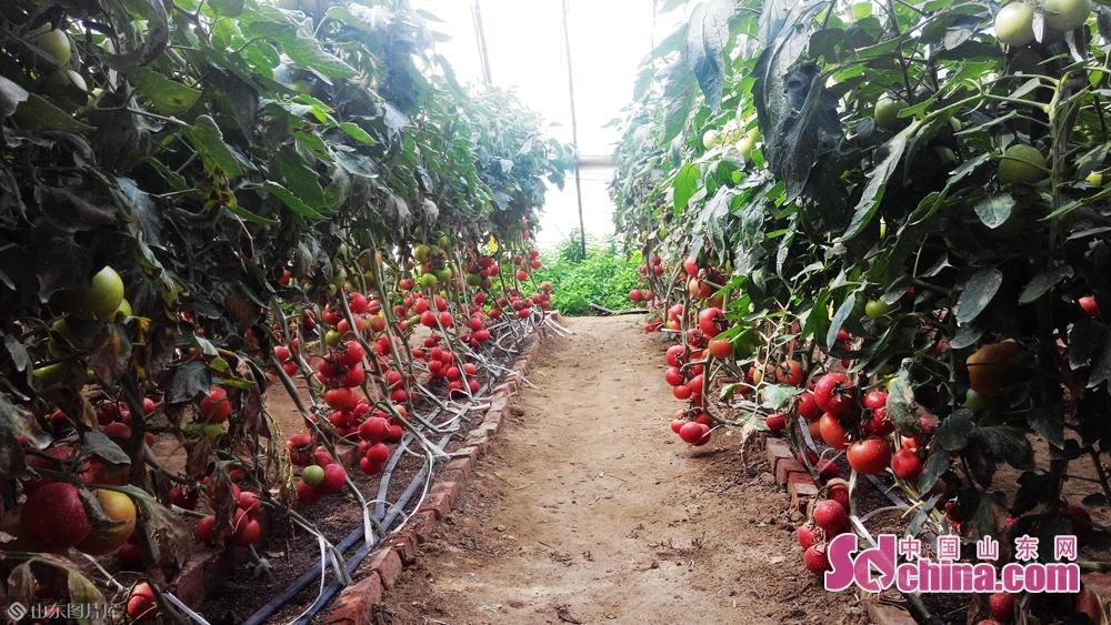 由省现代农业产业技术体系蔬菜创新团队土壤与肥料岗位专家、泰安市农科院院长高俊杰研究员率领的团队研究的&ldquo;设施蔬菜有机基质栽培标准化技术&rdquo;,解决了这一难题,从农业废弃物收集、腐熟、配制,到蔬菜产业化生产,使农业废弃物大规模利用成为可能,也实现了盐碱地、荒漠地等不适宜生产蔬菜地区发展蔬菜产业,有效解决菜地占用良田造成的粮菜争地问题,以及设施菜田环境恶化与设施蔬菜生产的矛盾。<br/>