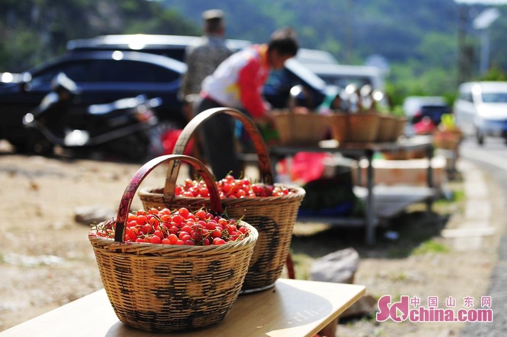 청도시 성양구 석복진거리 면화촌의 붉은 앵두가 큰고 다증의 특점으로 유명하다. 이 사진은 촌민이 길목에서 방금 딴 붉은 앵두를 판매하고 있다.<br/>