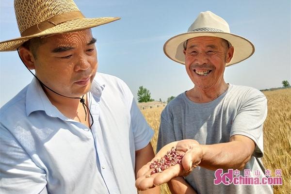 山东郯城:富硒紫小麦种植助农增收