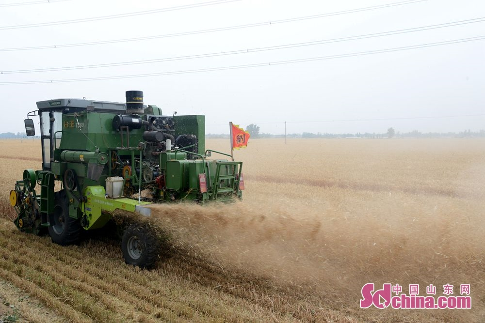 <br/>  山东省茌平区农民正在使用收割机收麦。<br/>