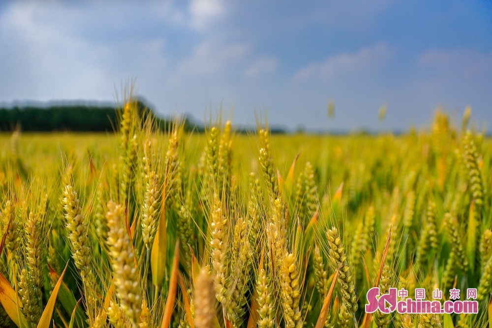 <br/>  走在乡村田野上,闻着阵阵麦香,望着小麦由碧绿变成微黄然后变成金黄,期待即将收割的丰收景象。<br/>