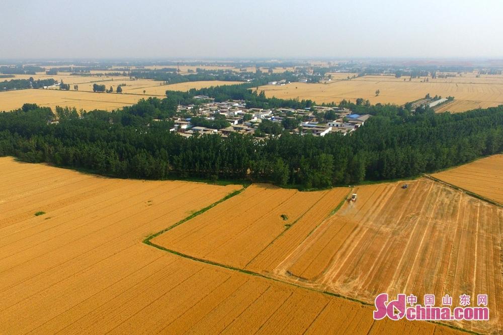 <br/>  山东省茌平区信发街道华寺杨村村民在收麦现场。<br/>