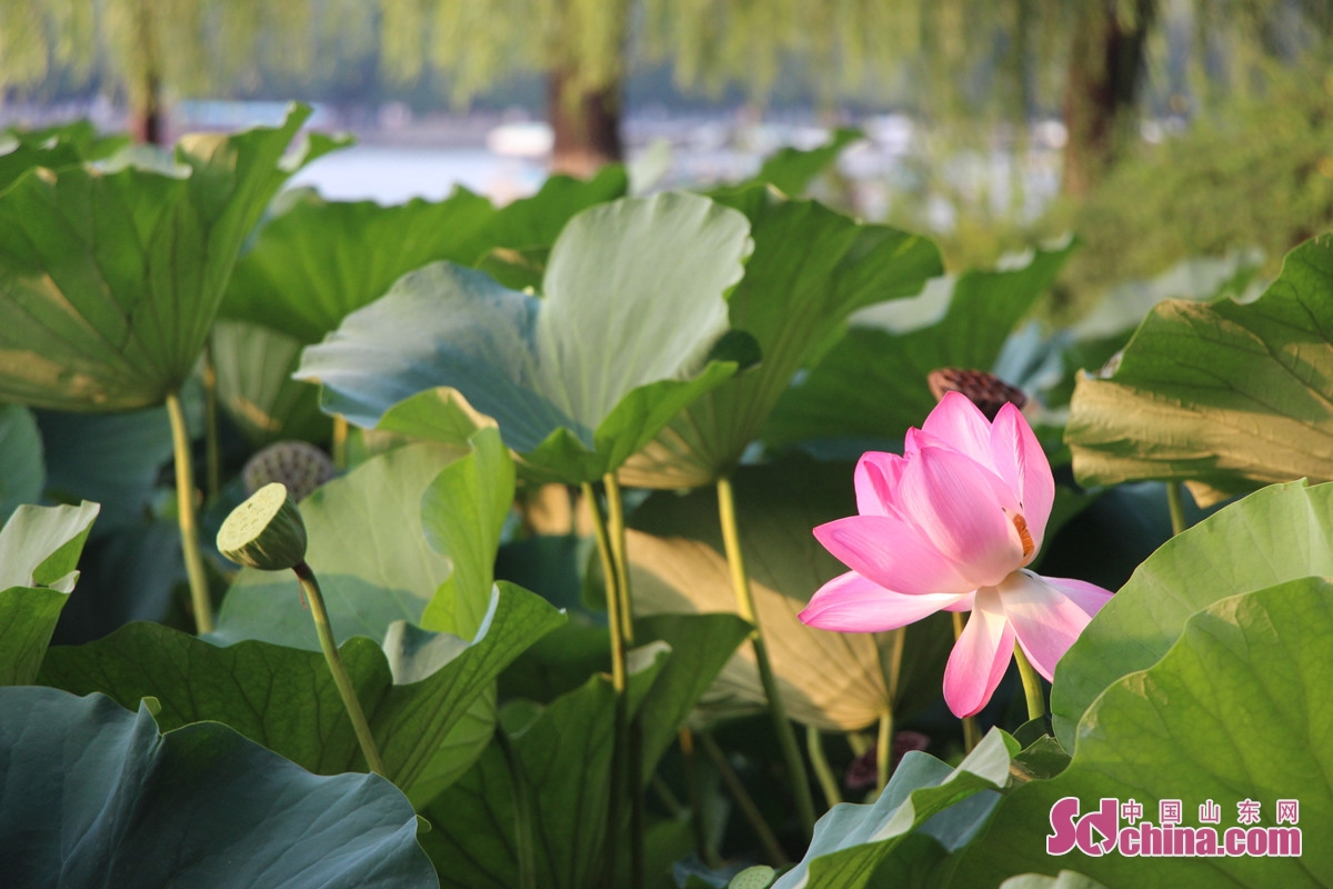 在济南,荷花不仅仅是一种美丽的花卉,而是作为一种文化,融入了普通百姓的血液之中。<br/>