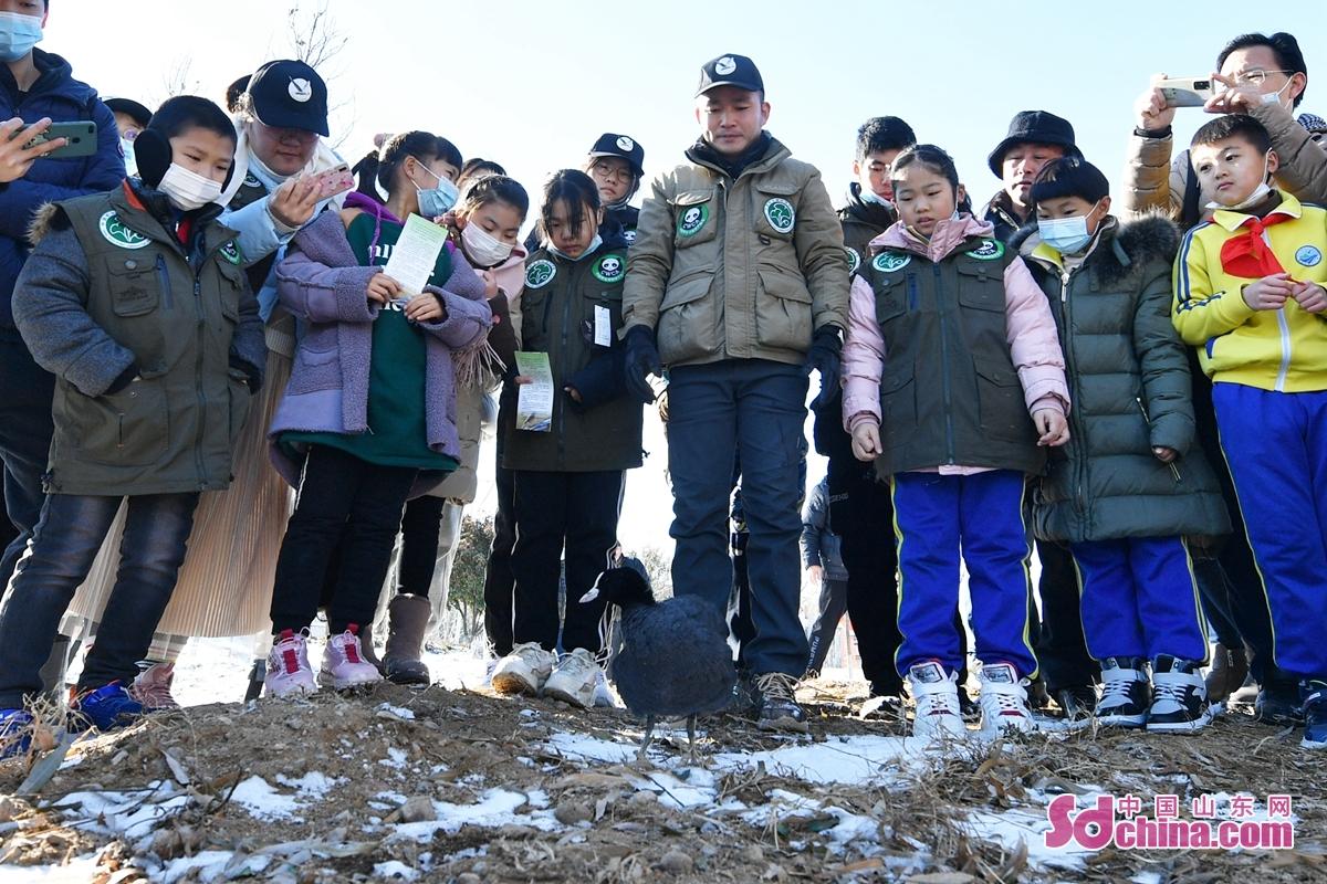 <br/>  山东省青岛市百余名野生动植物保护志愿者在河边放归救助的骨顶鸡。<br/>