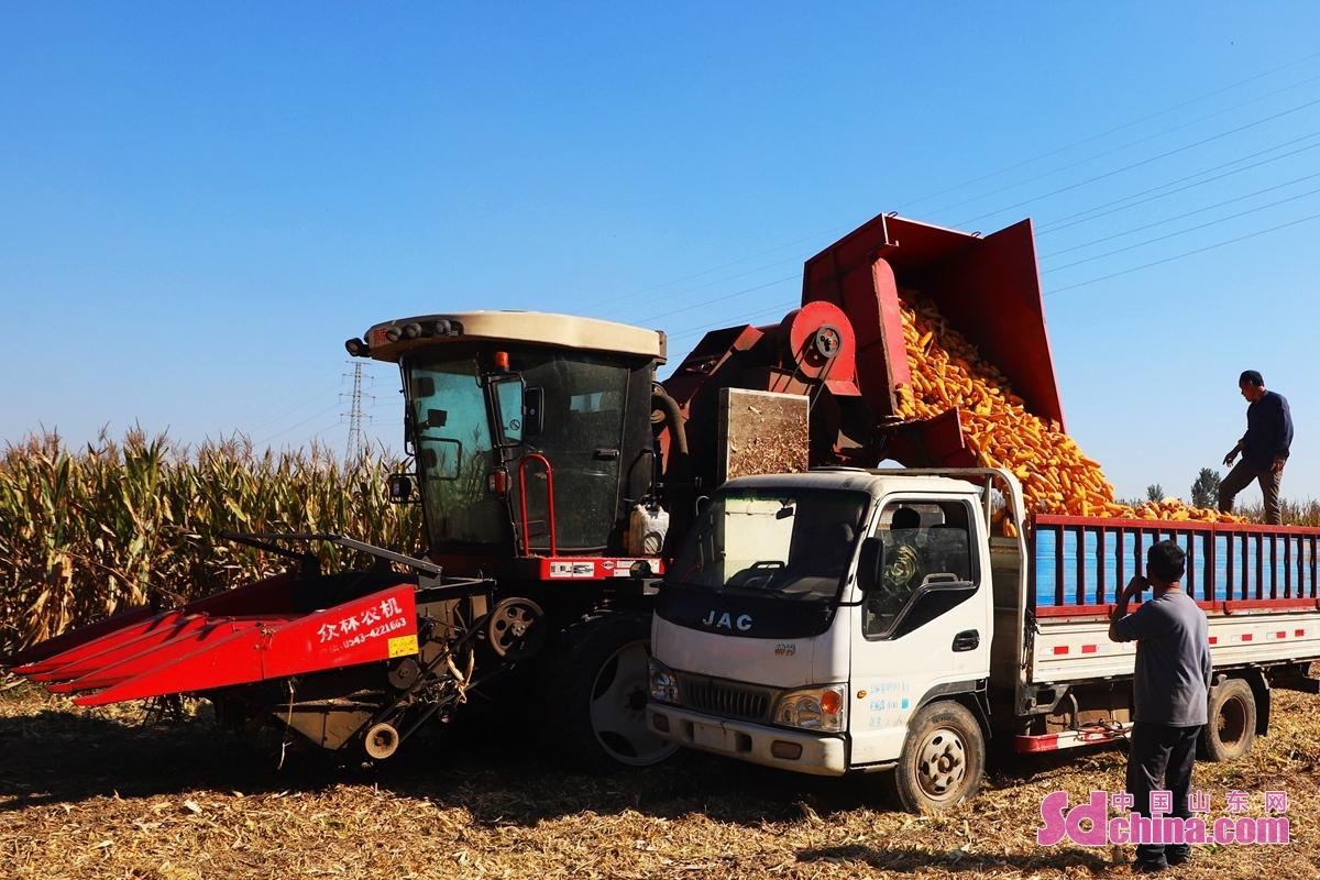 산동성 추평시 밍지진 송집촌의 농민들이 옥수수를 서둘러 수확하고 있다.<br/>