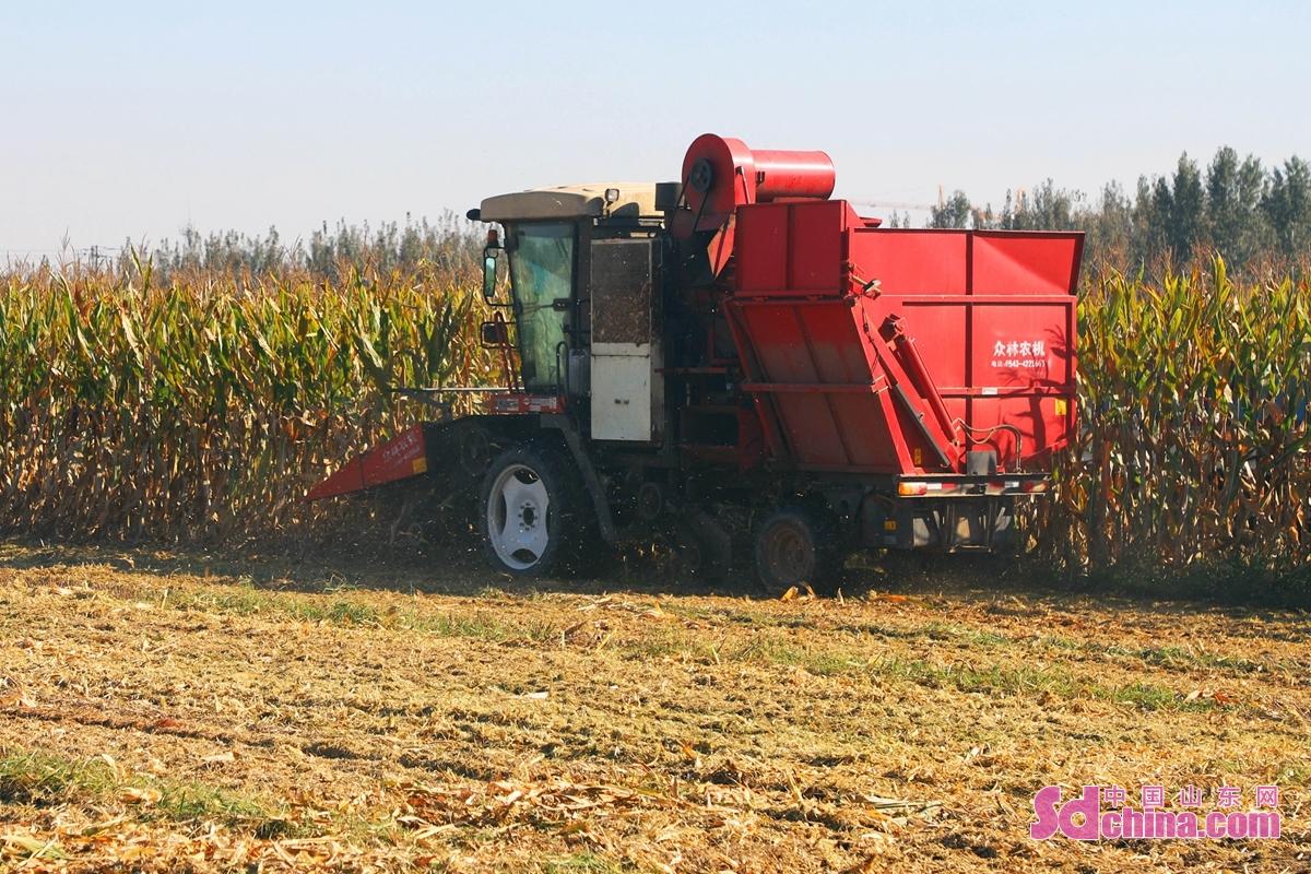 최근 날씨가 점차 쾌청해지자 산동성 추평시 농기계합작사와 농민들은 수확설비를 이용하여 가을곡식을 서둘러 수확하고 있다.<br/>