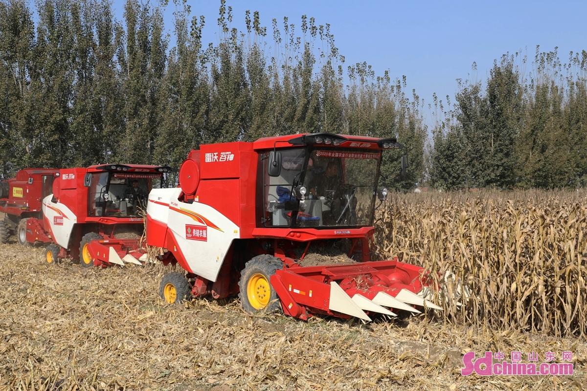 최근 날씨가 점차 쾌청해지자 산동성 추평시 농기계합작사와 농민들은 수확설비를 이용하여 가을곡식을 서둘러 수확하고 있다.