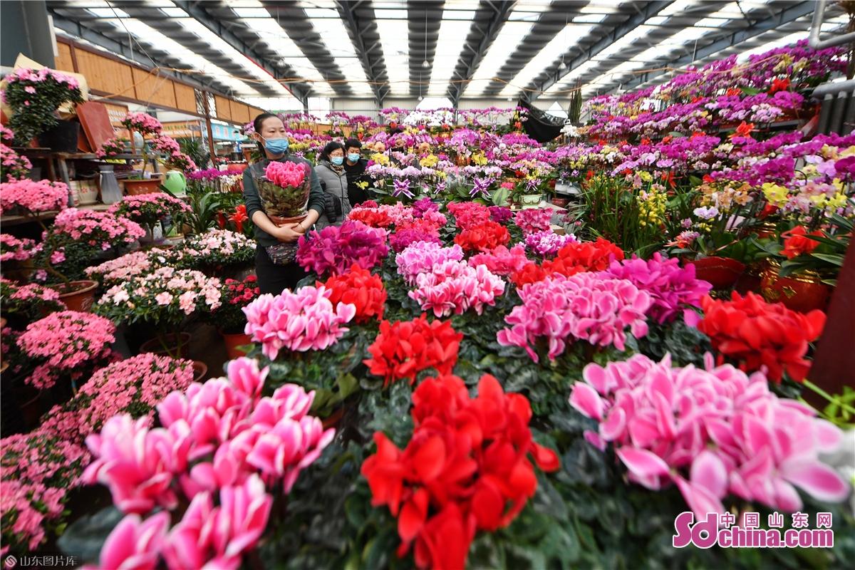 <br/>  春節が近づくと、山東省青島市城陽区の花木市場に置かれた鉢植えの花々がいっぱいに咲いていて、濃い春の趣が漂っている。人々は部屋に飾る花を選んで購入し始め、2021年の春節を迎えている。<br/>