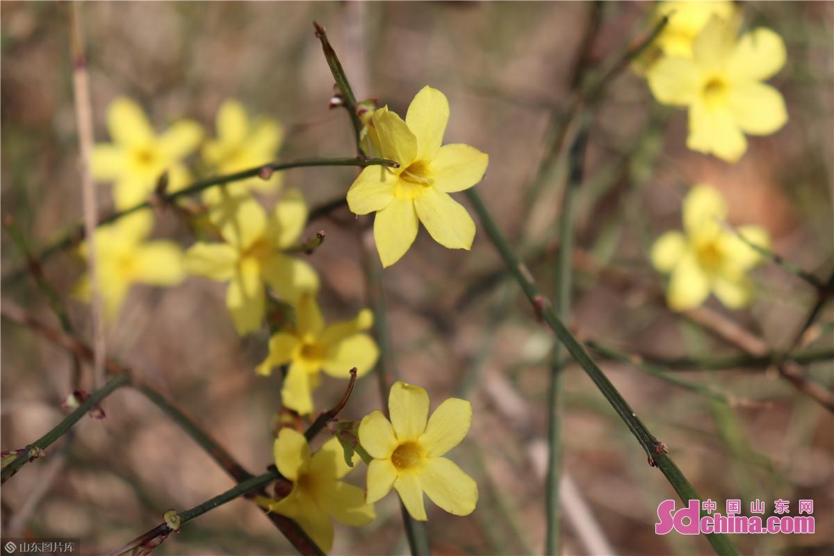 菏泽市天香公园的迎春花都已盛开。<br/>