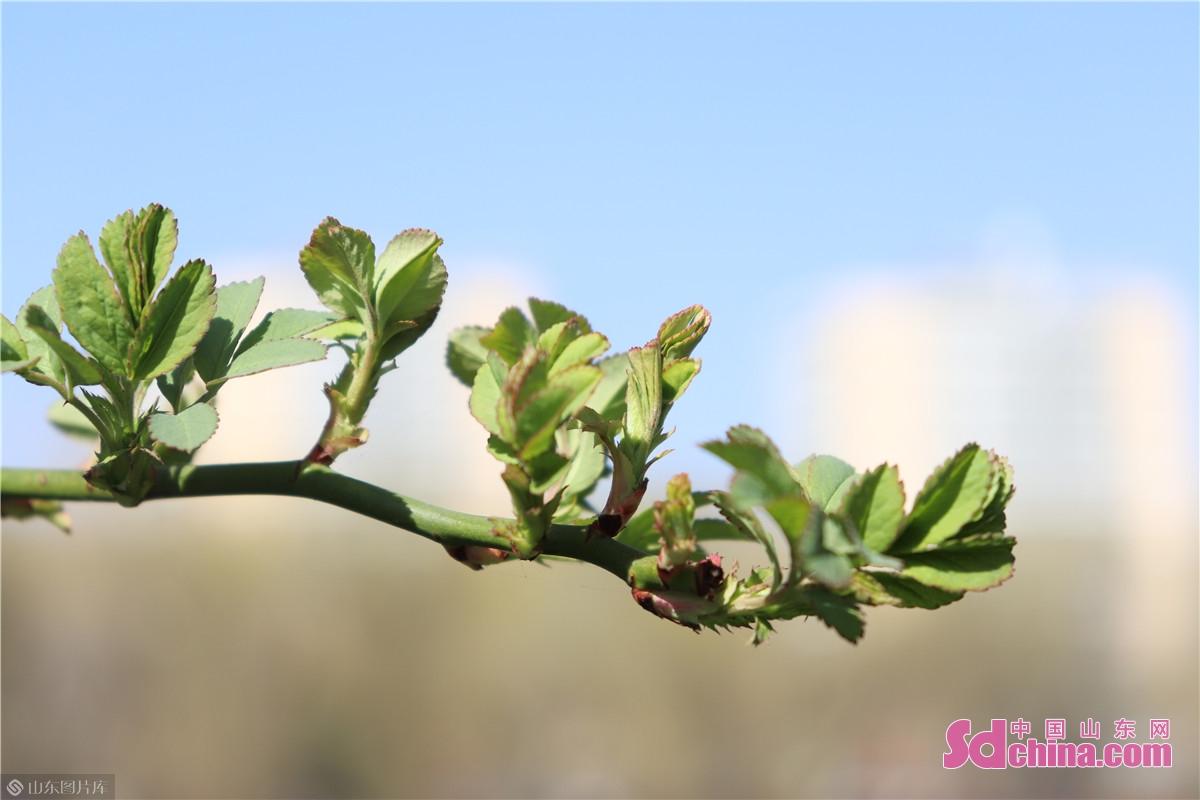 如果说春天是象征着新生的季节,那么最能代表春天的一定是刚抽出枝的嫩芽。<br/>