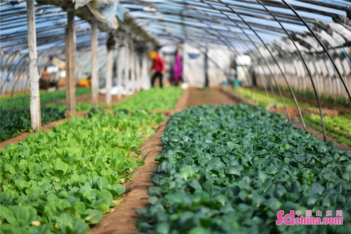 Farmer households of vegetables in Qingdao, East China's Shandong province, have begun a bumper harvest as spring arrives. (Wang Haibin)