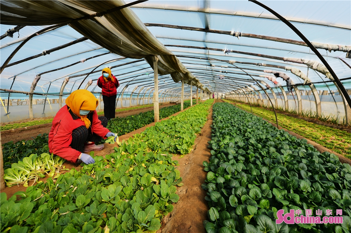 Farmer households of vegetables in Qingdao, East China&rsquo;s Shandong province, have begun a bumper harvest as spring arrives. (Wang Haibin)<br/>