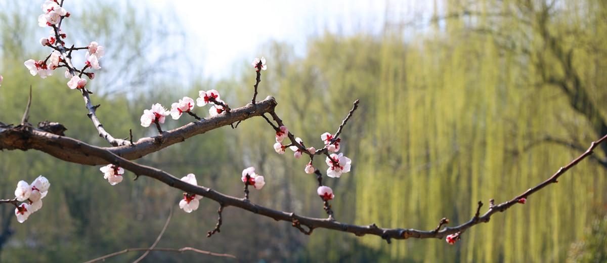 繁杏似雪,新柳如丝:初春的大明湖景区生机盎然