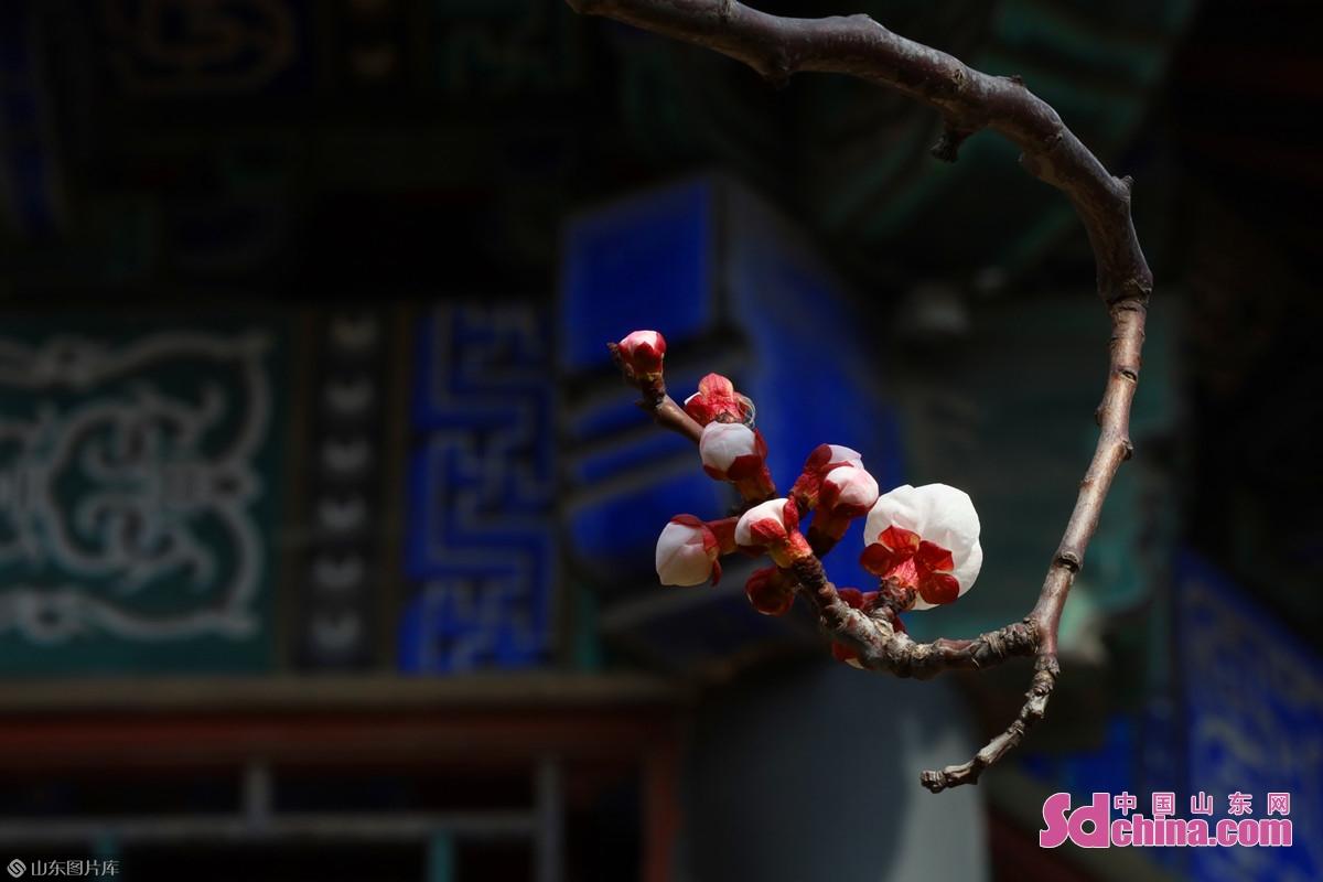 <br/>  杏(Prunus armeniaca)是蔷薇科杏属李亚科植物。原产中国,分布很广。树龄可达一百年以上。杏在公元前数百年问世的《管子》中就有记载,因此至少在我国已有二三千年的栽培历史。<br/>
