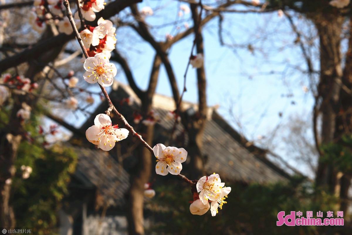 <br/>  济南大明湖南岸的玉涵桥以北、辛稼轩纪念祠以南、秋柳人家以南等多处都植有杏树,花开正盛。<br/>