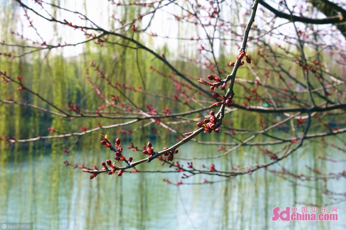 <br/>  景区内,美人梅、榆叶梅、丁香等花卉正含苞待放。