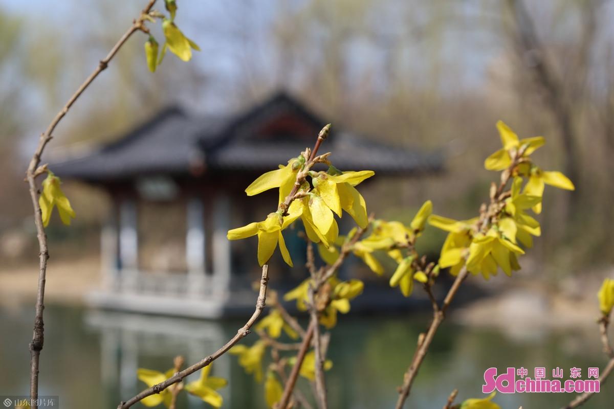 <br/>  景区内,连翘、玉兰等早春花卉也已陆续进入花期。<br/>