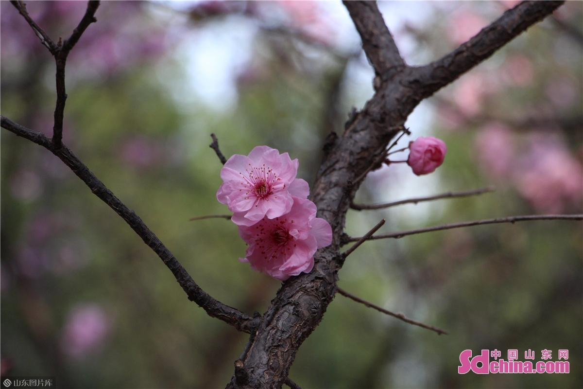 <br/>  百花公园内盛开的美人梅。<br/>