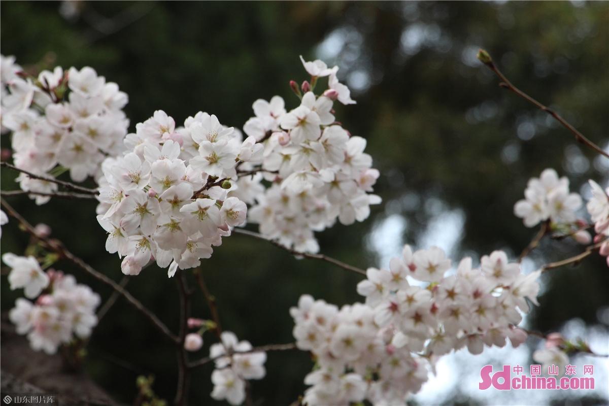<br/> 百花公园内盛开的樱花。<br/>