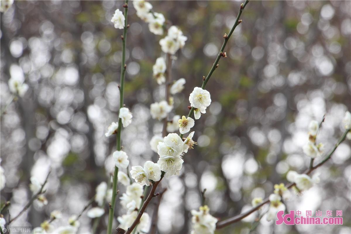 <br/>  百花公园内盛开的绿萼梅。<br/>  又到一年赏花季,济南城区各大公园、河道边,各种花朵已盛开。刚刚过去的周末,百花公园内游人如织,公园内玉兰花、桃花、樱花、梅花等开得正盛,成了市民游客踏春好去处。迎春、连翘开得诱人晃眼,桃花、梅花美得随风绽放,还没去赏花的你,跟着镜头打卡一波吧!<br/>