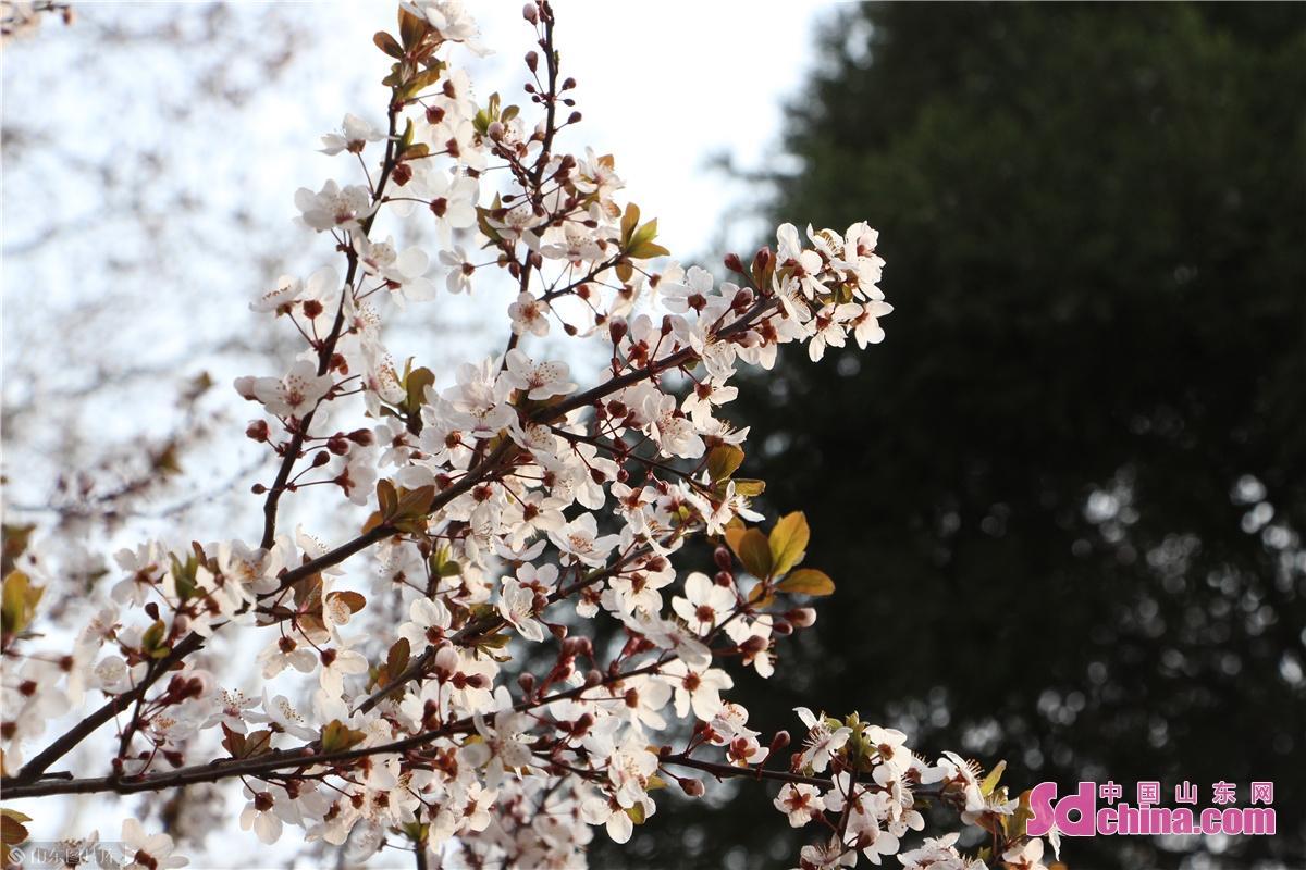 <br/>  百花公园内的紫叶李。<br/>