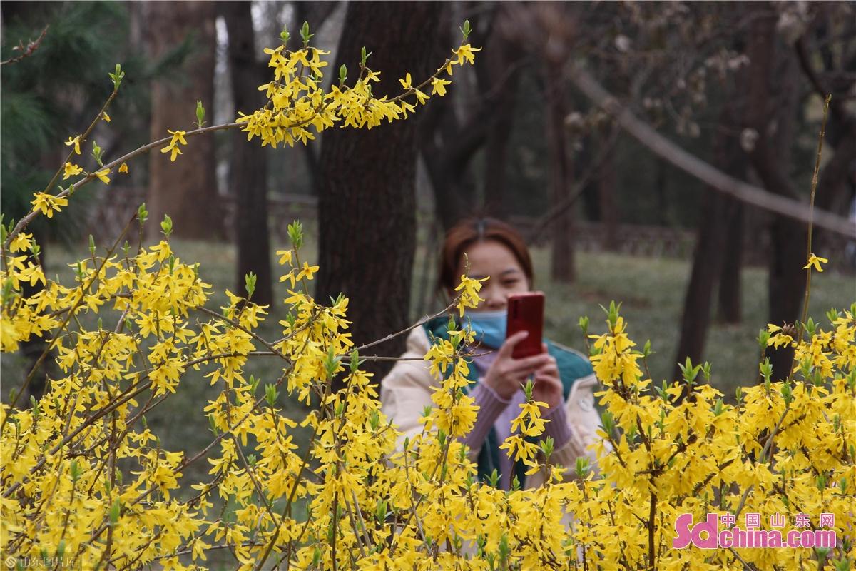 <br/>  百花公园内盛开的金钟花。<br/>