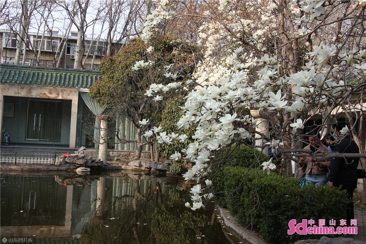 <br/>  百花公园内盛开的白玉兰与池塘交相辉映。<br/>