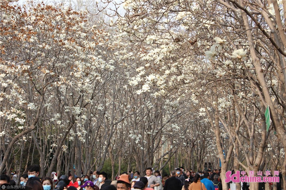 <br/>  公园内玉兰花夹道盛放,游客熙熙攘攘。<br/>