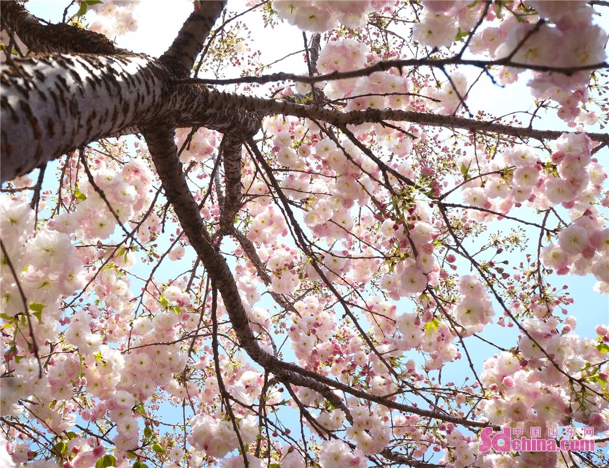 <br/>  樱花象征幸福、热烈、纯洁、高尚、淡薄。早樱树形伞状,姿态俊朗,初开洁白,落花淡红,形态娟秀;它的初绽、盛开和残花都别有气质。入夏时红果累累,秋叶鲜艳夺目。<br/>