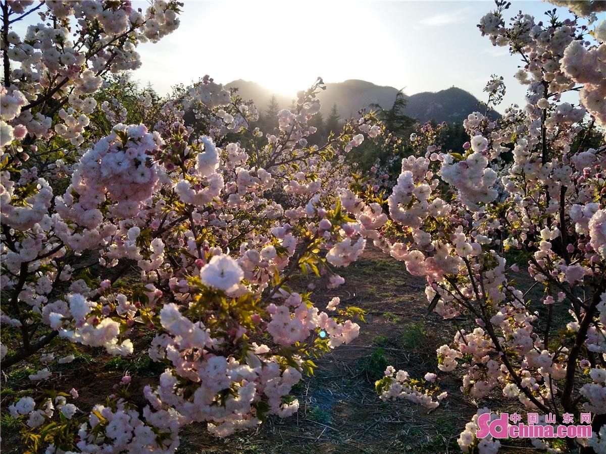<br/>  如果说早樱是樱花山的序曲,那么4月间盛开的晚樱就是一场盛大的交响乐,方圆几里的山野湖畔间,一片片粉红、粉紫的樱花点缀期间。远观浩瀚无边,如天边的晚霞,近看繁花似锦,层层叠叠的花瓣,一朵朵、一支支、一片片压弯了树枝,映红了人们的笑脸。一对对情侣,一群群游人,或徜徉在晚樱花海,或漫步于湖边小径,无处不锦绣,无处不飞花......<br/>