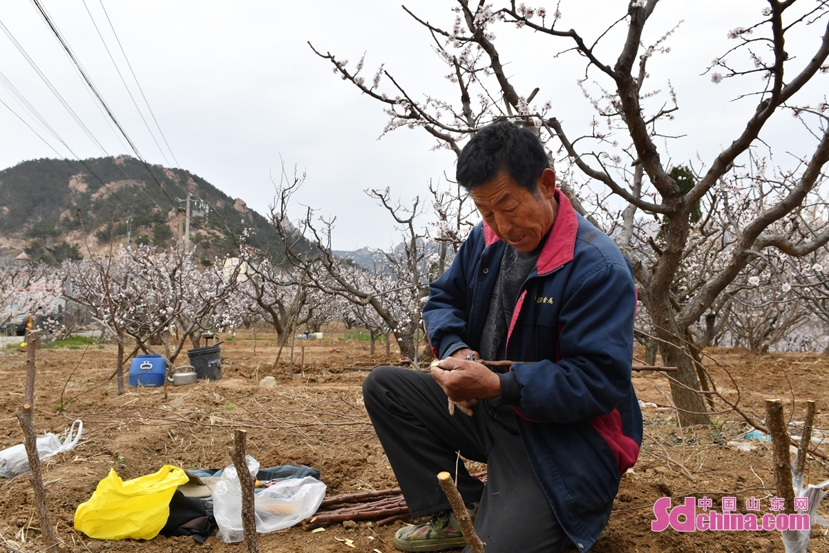 <br/>  村民在青岛市城阳区夏庄街道少山社区的杏园中进行春季扦插。<br/>