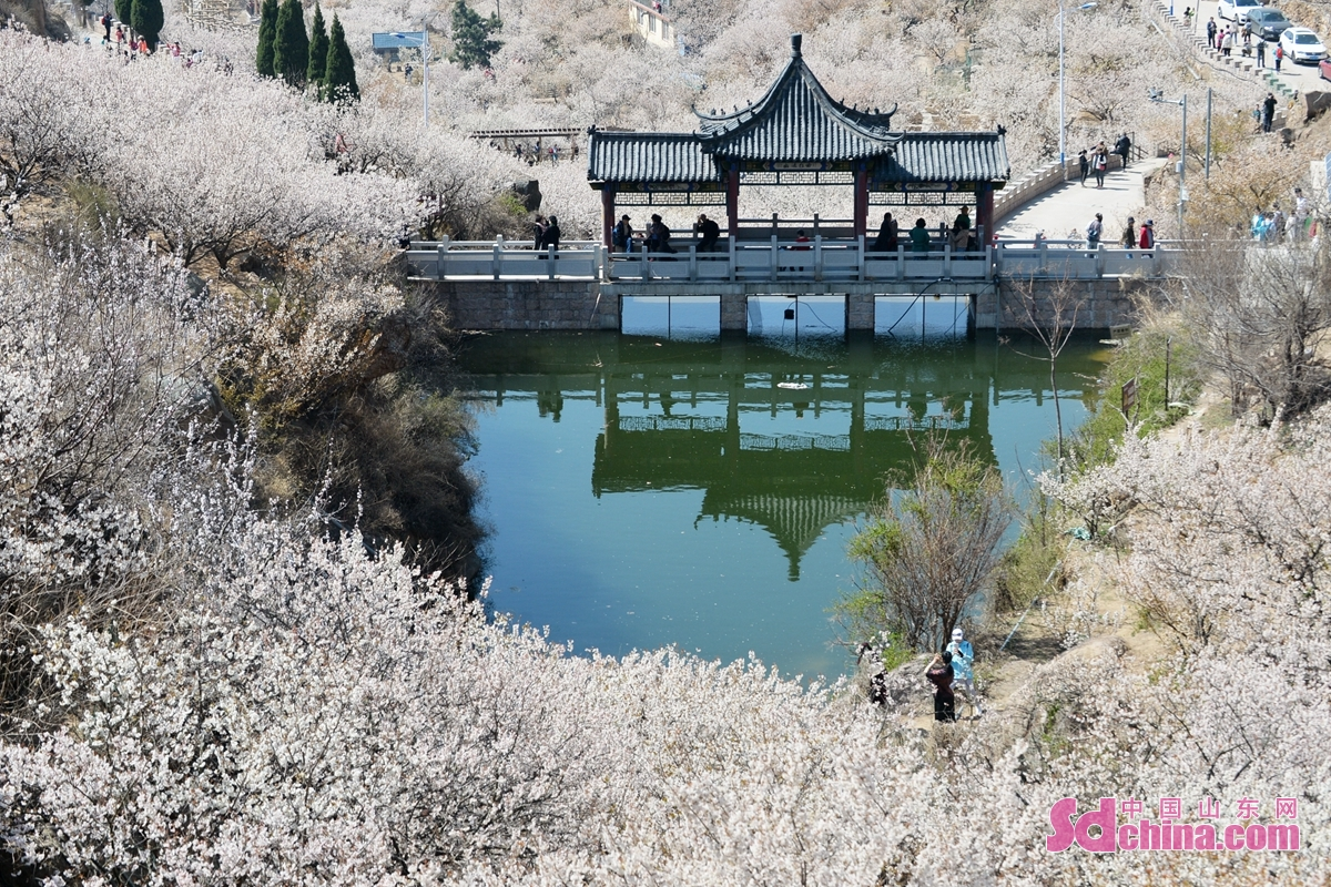 More than one thousand mus of cherry blossoms in Dalao Cherry Valley in Qingdao city of China&rsquo;s Shandong province bloom all over the hillside. The Metro Line 11 runs through a picturesque grove of cherry blossoms, which attracts a lot of shutterbugs and tourists.<br/>