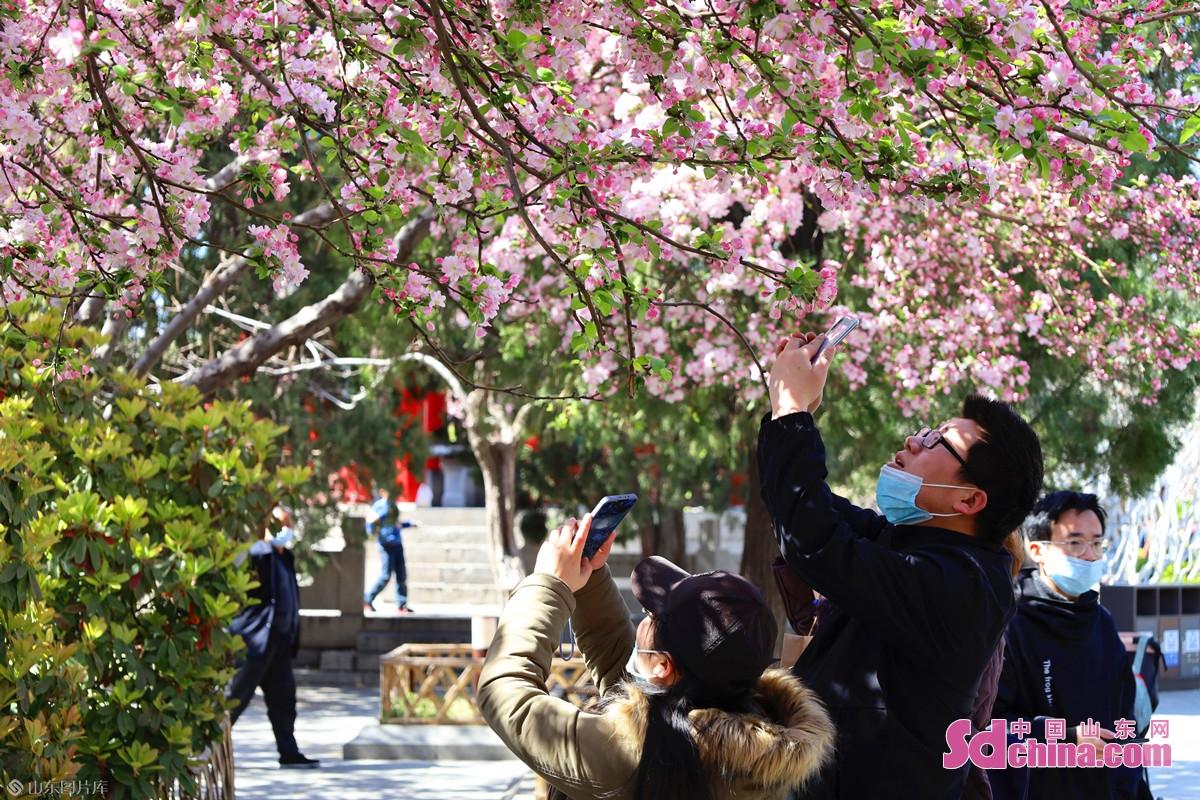 <br/>  大明湖风景区小沧浪亭前,盛开的西府海棠宛若连片红霞,吸引众多游客观赏拍摄。<br/>