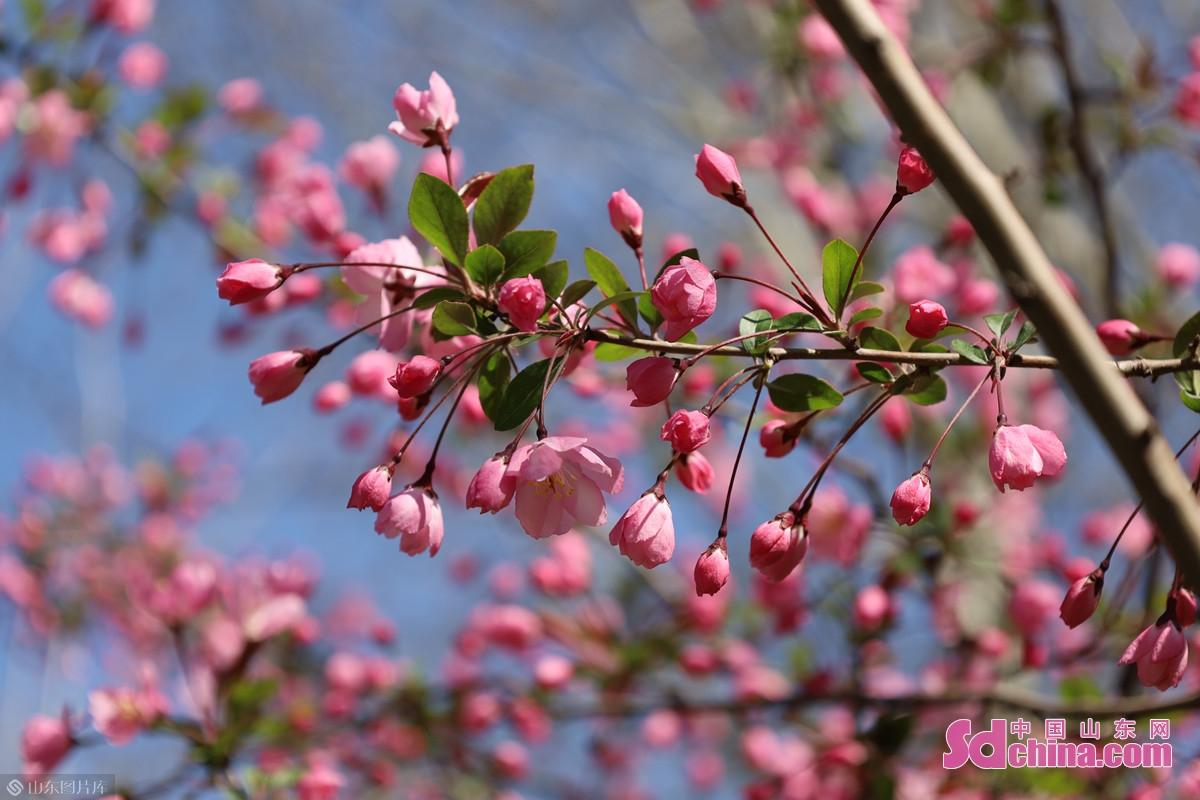 <br/>  垂丝海棠(Malus halliana),蔷薇科苹果属,小乔木。花梗细弱下垂,柔蔓迎风,垂英凫凫,如秀发遮面的淑女。图为大明湖南岸司家码头东侧的一株垂丝海棠。<br/>