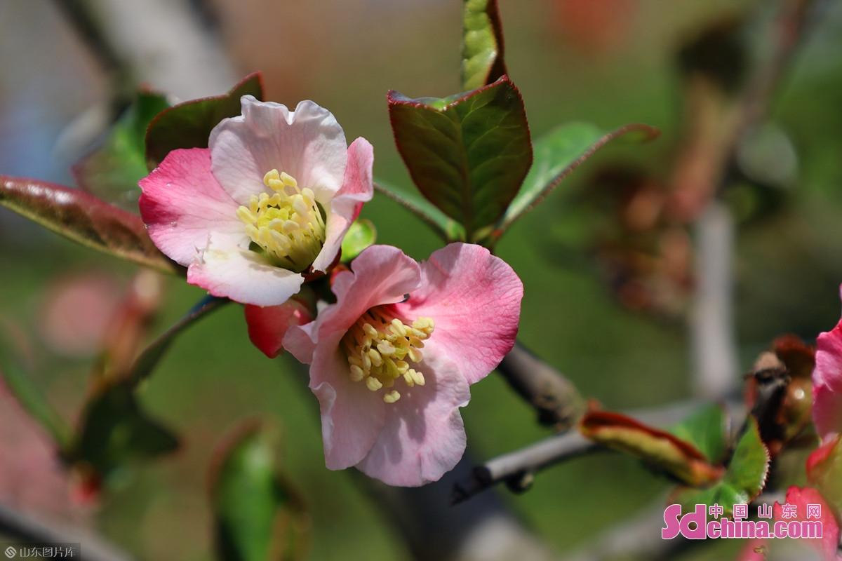 <br/>  木瓜海棠,学名毛叶木瓜(Chaenomeles cathayensis),蔷薇科木瓜属,灌木或小乔木,又名木桃、木李等。一说即为 &ldquo;投我以木桃,报之以琼瑶&rdquo;句中之&ldquo;木桃&rdquo;。图为泉城公园蔷薇架旁的一株木瓜海棠。<br/>