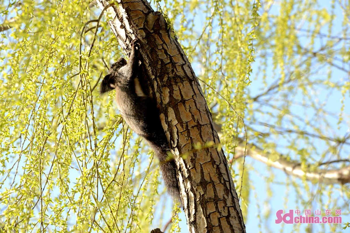 <br/>  图为2021年2月27日,摄于山东省济南市槐荫区玉清湖水库。(史奎华 摄)<br/>  2021年2月27日,位于山东省济南市西部黄河岸边的槐荫区玉清湖水库环湖路的柳树上,一只松鼠在树上玩耍,引来了路人围观,只见可爱的小松鼠在树上自由的上蹿下跳,一会东望望、西看看,在金黄的柳树枝杈间嬉戏玩耍,着实惹人可爱。当日,在玉清湖上栖息的大雁、白天鹅、海鸥等鸟类也给玉清湖增添了灵动色彩。<br/>