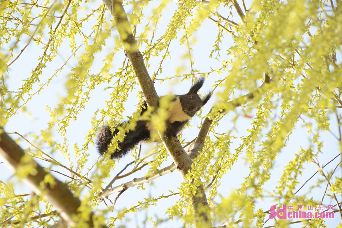 A squirrel is seen in a willow tree near the reservoir of Yuqing Lake in Huaiyin District of Jinan, capital of China's Shandong province on Feb. 27, 2021. The wild geese, white swans, seagulls and other birds perching on the Yuqing Lake also added color to the scenery.<br/>