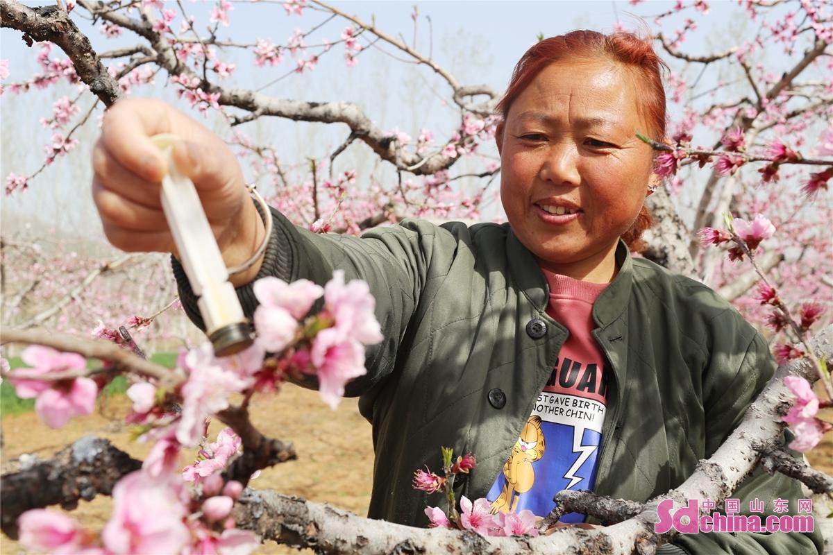 <br/>  近日,张山子镇万亩桃林进入盛花期,当地果农们抓住农时为桃花进行人工授粉,确保丰收。<br/>