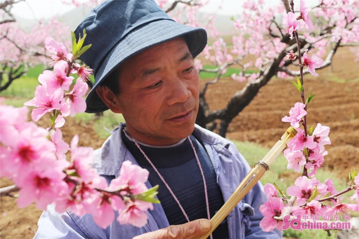 <br/>  张山子镇万亩桃林进入盛花期,当地果农们抓住农时为桃花进行人工授粉,确保丰收。<br/>