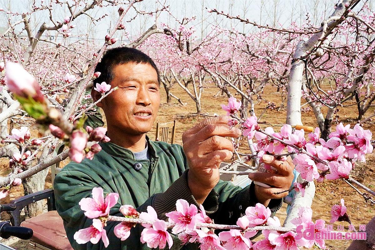 <br/>  在枣庄台儿庄区张山子镇万亩甜桃基地里,桃花朵朵开,一派好春光。<br/>